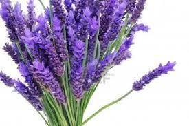 lavender essential oil cures sciatica
