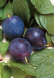 buy plum kernel oil