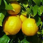 lemon essential oil for headache
