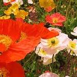 buy poppy seed oil