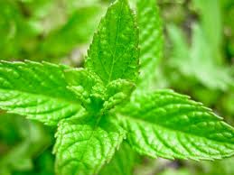buy peppermint oil