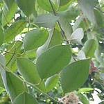 eucalyptus weakens the flu virus
