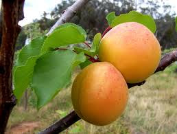 buy apricot oil