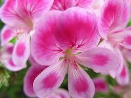 buy geranium oil